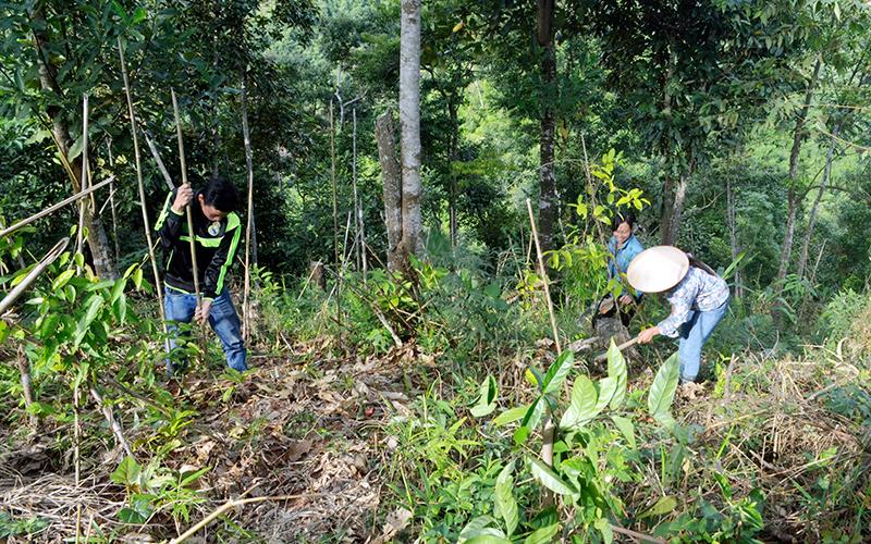 Quảng Ninh: Triển vọng mô hình trồng ba kích ở Đồng Sơn