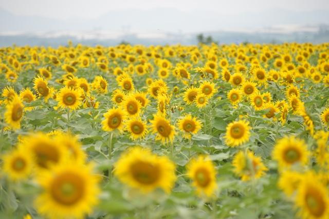 Sắc vàng hoa hướng dương Thái Hòa, Nghĩa Đàn, Nghệ An