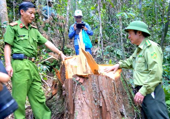 Rừng pơ mu dọc biên giới Quảng Nam - Sê Kông (Lào) bị tàn phá