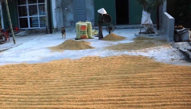 Xuất khẩu gạo vẫn gặp khó