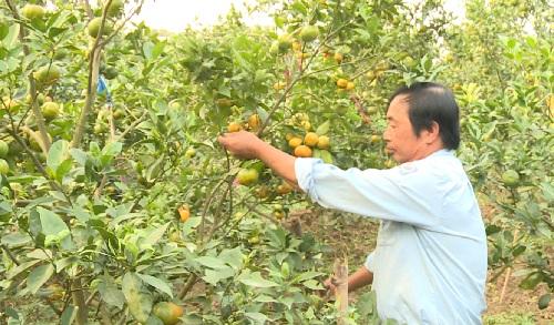 Thu nhập đạt hàng trăm triệu đồng/năm từ trồng cam đường canh