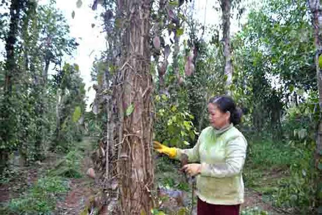 Nông dân Bình Thuận lo lắng vì tiêu chết nhiều