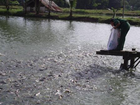 Vĩnh Tường (Vĩnh Phúc): Năm 2016 nuôi trồng thủy sản gặp nhiều khó khăn
