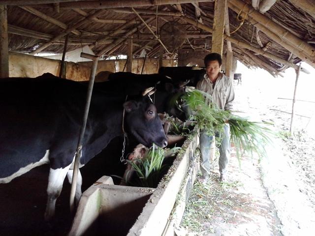 Vĩnh Tường (Vĩnh Phúc): Năm 2016 ngành chăn nuôi gặp nhiều thuận lợi