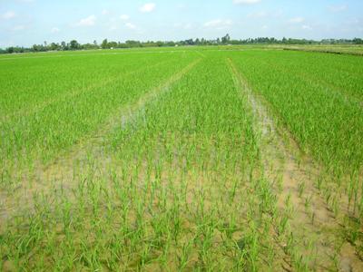 Vĩnh Tường đặt mục tiêu  gieo trồng hơn 8 nghìn ha vụ Đông Xuân 2016-2017