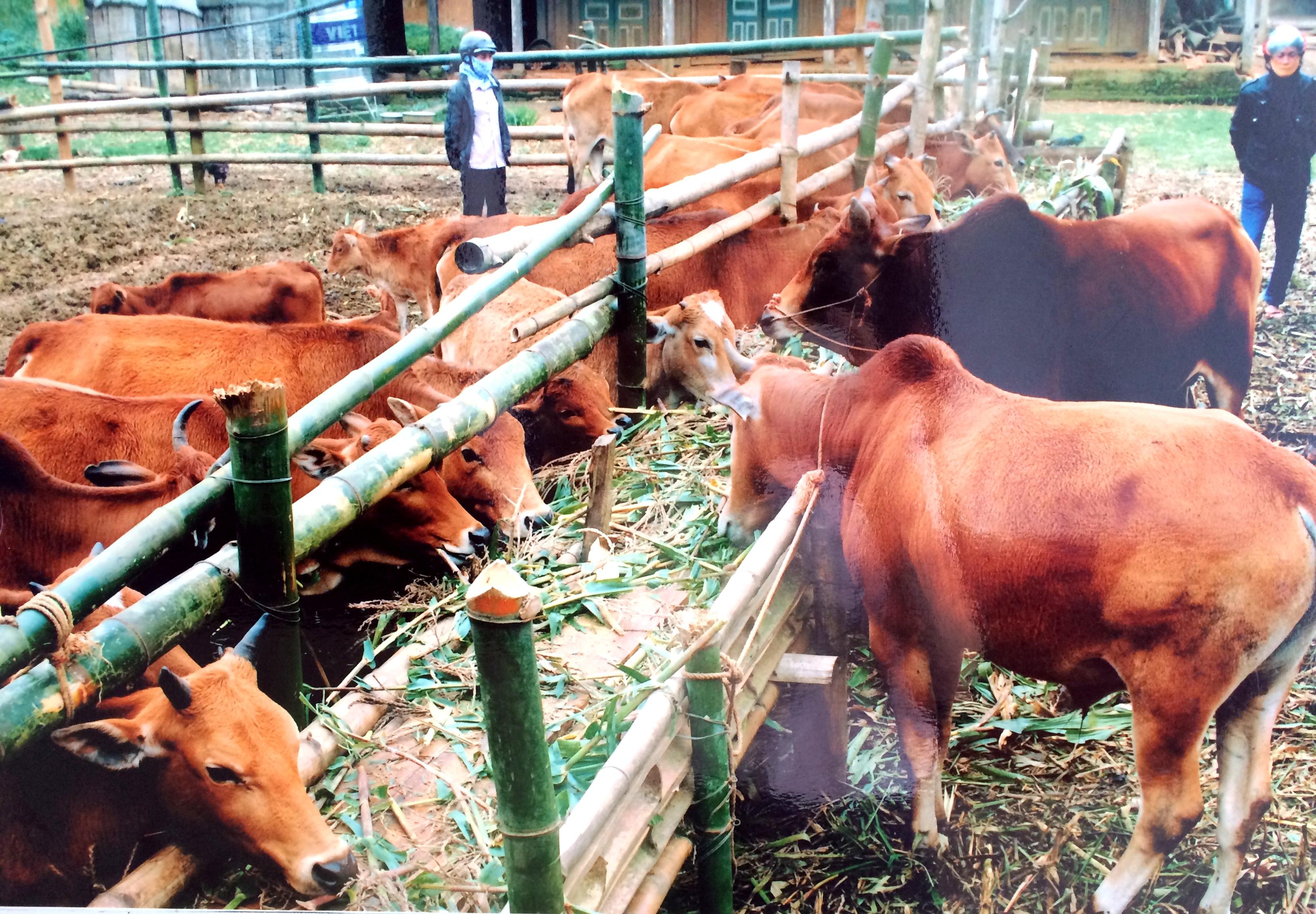 Vĩnh Phúc: Chủ động chống rét cho đàn vật nuôi