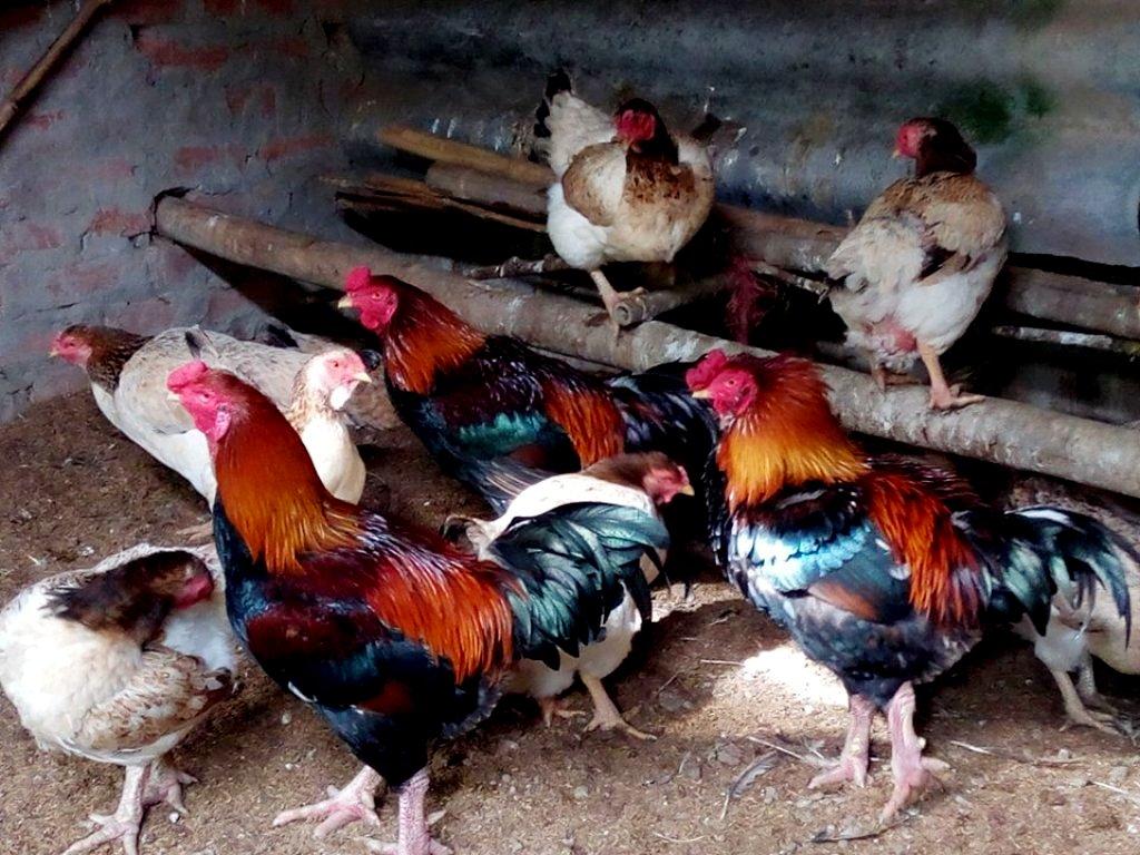 Năm Đinh Dậu về thăm làng gà Móng