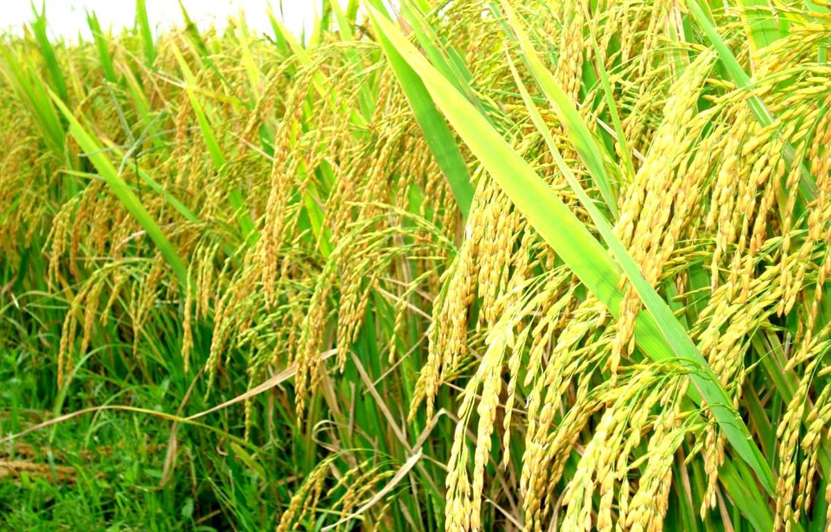 75 tỷ đồng cho đề án phát triển sản phẩm lúa gạo
