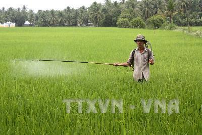 Lúa Đông Xuân sớm ở Đồng Tháp giảm năng suất do dịch bệnh