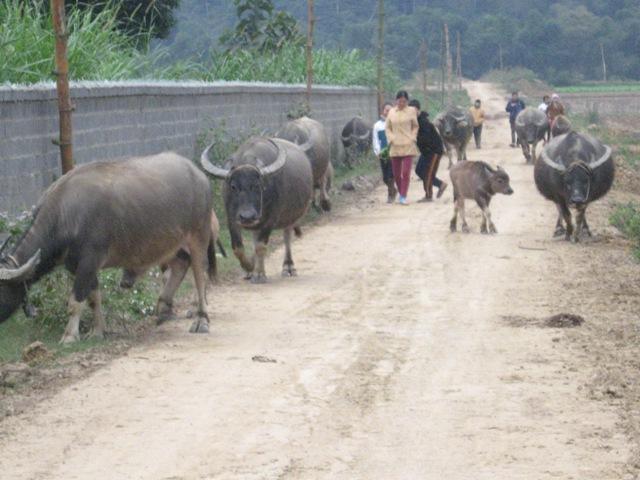 Huyện Vị Xuyên (Hà Giang): Hỗ trợ người dân phát triển chăn nuôi gia súc, gia cầm