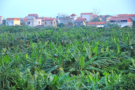 Phát triển kinh tế từ trồng chuối tiêu hồng