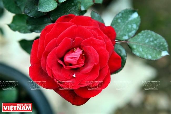 Người dân Hưng Yên làm giàu từ những vườn hoa hồng cổ