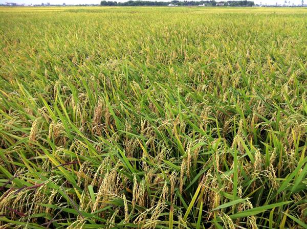 Cả nước đã gieo cấy được 3036 nghìn ha lúa đông xuân