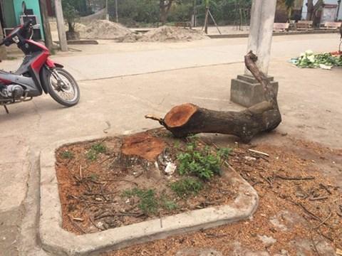 Yêu cầu làm rõ việc chặt cây gây phản cảm ở Thạch Thất