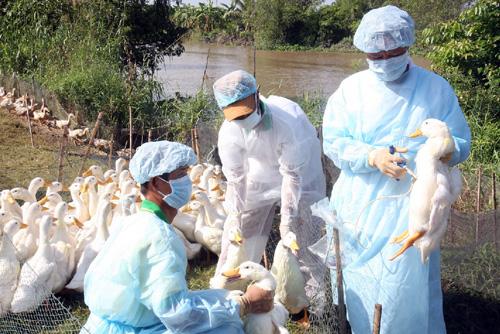 Tập trung phòng chống vi rút cúm A/H7N9 và các chủng vi rút cúm gia cầm