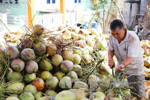 Dừa tươi tăng giá mạnh nông dân thu lãi cao