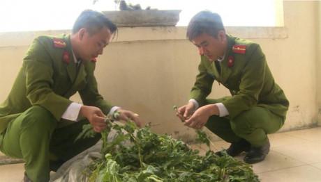 Thái Bình: Thu giữ hơn 100 cây thuốc phiện trồng trong vườn nhà