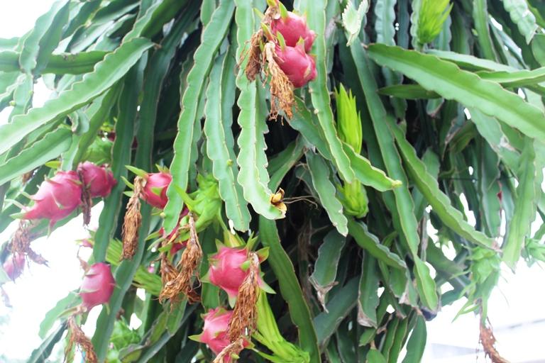 Chủ động chăm sóc cây ăn quả trong điều kiện mưa trái mùa