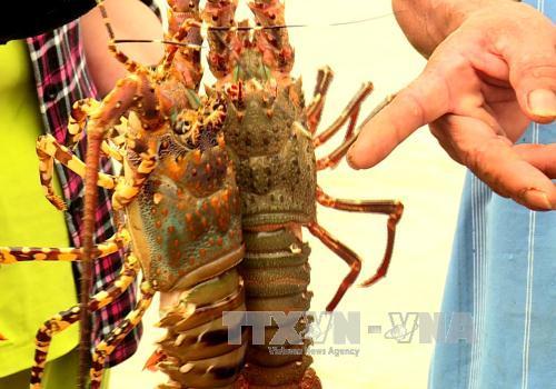Phú Yên phòng trị bệnh trên tôm hùm nuôi bằng lồng
