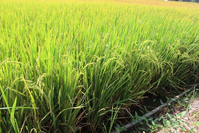 Tiếp tục triển khai kế hoạch sản xuất lúa vụ Hè Thu 2017 tại các tỉnh Nam bộ