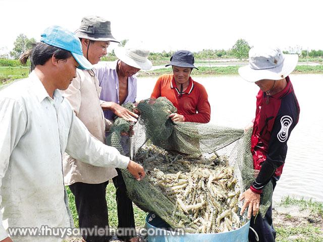 Cà Mau đặt mục tiêu năm 2020 đạt sản lượng 280.000 tấn tôm nuôi