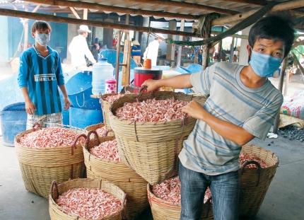 Nghề sản xuất tôm khô ở Cà Mau giải quyết việc làm cho nhiều lao động