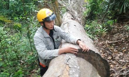 Xử lý dứt điểm vụ lâm tặc phá rừng nghiến cổ thụ