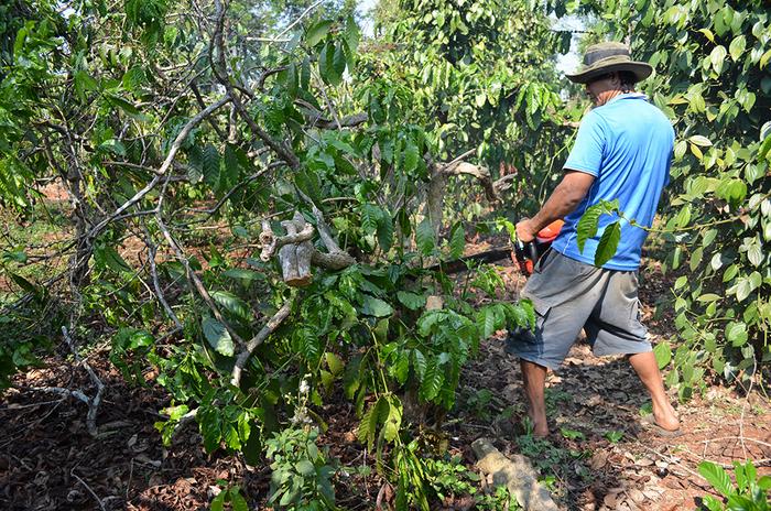 Quảng Trị: 260 tỷ đồng để tái canh 2.000 ha cà phê