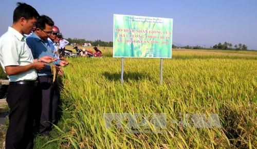 Hiệu quả từ sử dụng các giống lúa đạt tiêu chuẩn