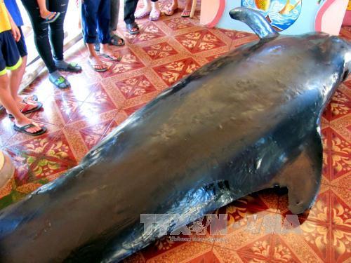 Cá voi nặng hơn một tấn dạt vào bờ biển Phú Yên