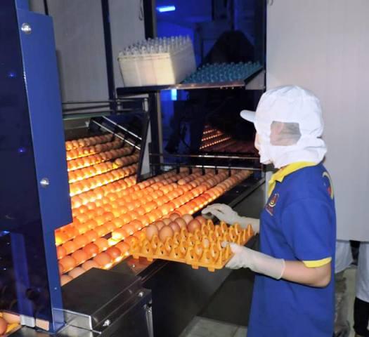 Ứng dụng công nghệ cao trong sản xuất trứng gia cầm sạch