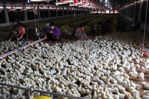 Hậu Giang phòng chống dịch bệnh trên vật nuôi