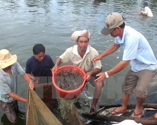 Kiên Giang phát triển nuôi tôm theo hướng sản xuất hàng hóa