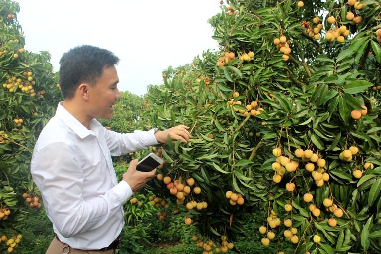 Vụ vải 2017 của tỉnh Bắc Giang giảm sản lượng nhưng được giá bán