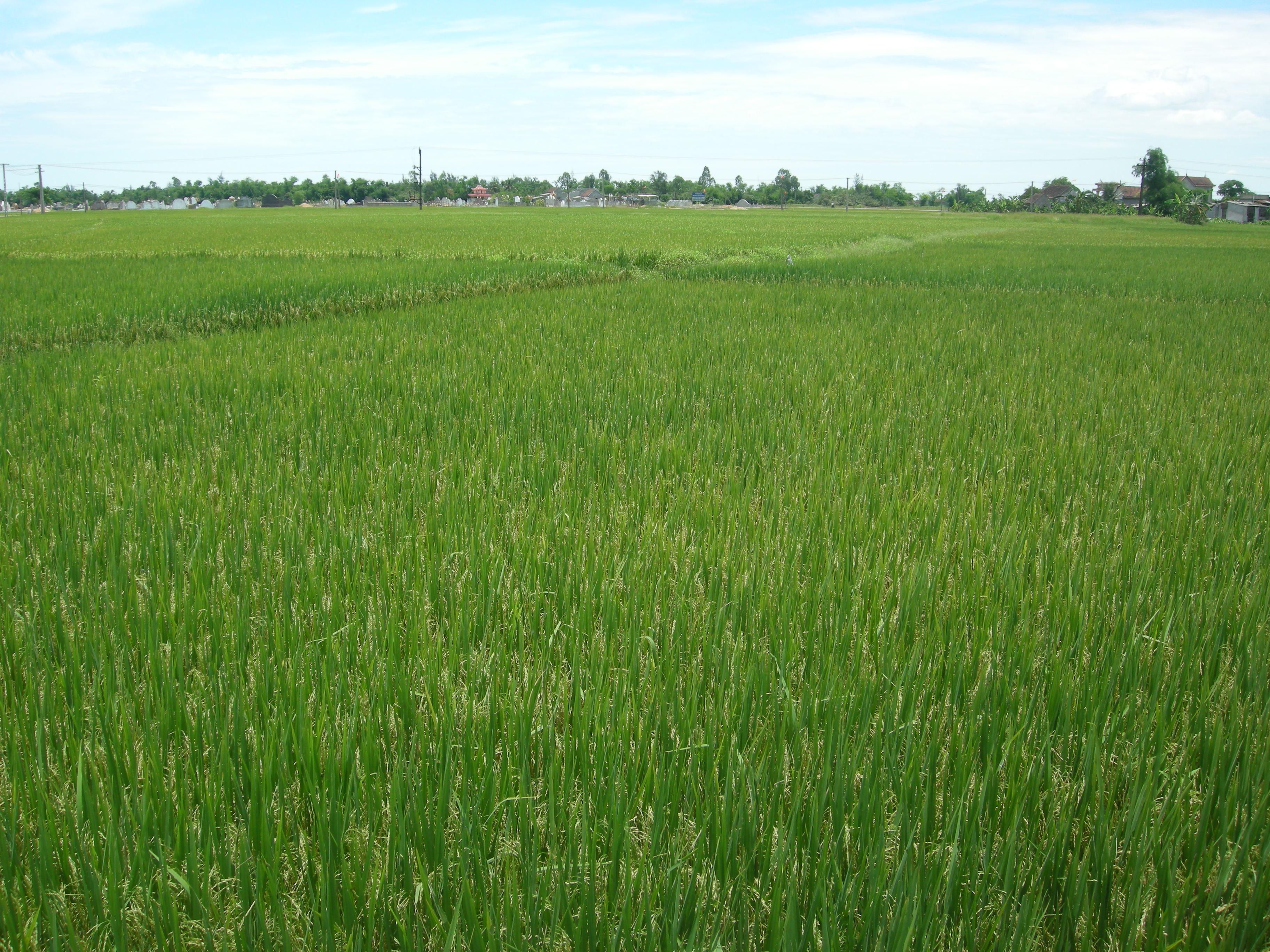 Các địa phương trong cả nước đang tập trung chăm sóc lúa đông xuân