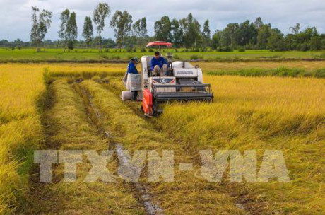 Sản xuất cánh đồng lúa lớn bằng cơ giới đồng bộ cho lợi nhuận cao