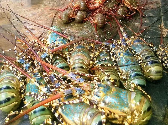 Phú Yên: Tôm hùm chết hàng loạt do môi trường vùng nuôi bị ô nhiễm