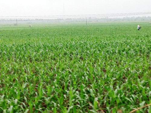 Tăng cường các giải pháp nâng cao giá trị sản xuất cây ngô