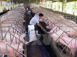 Tiền Giang: Giá lợn hơi tăng mạnh