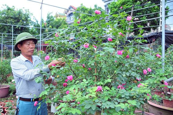 Làm giàu từ trồng hoa hồng cổ