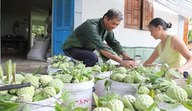 Hiệu quả từ phát triển cây na tại Đông Triều (Quảng Ninh)