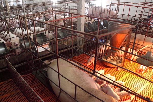 Giá lợn hơi tăng nhưng người dân cần thận trọng khi tái đàn