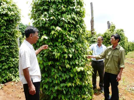 Giải pháp phát triển bền vững cây tiêu