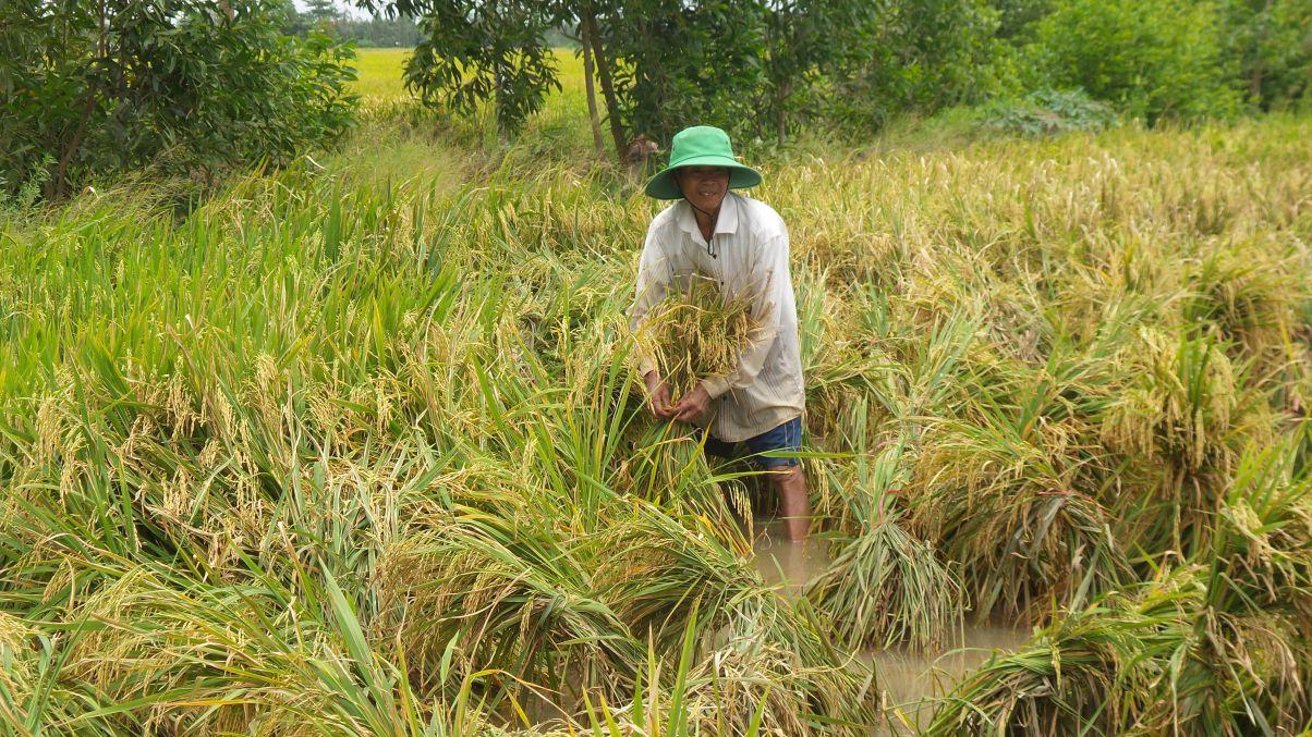 Nông dân Bạc Liêu thua lỗ trong vụ lúa Hè Thu