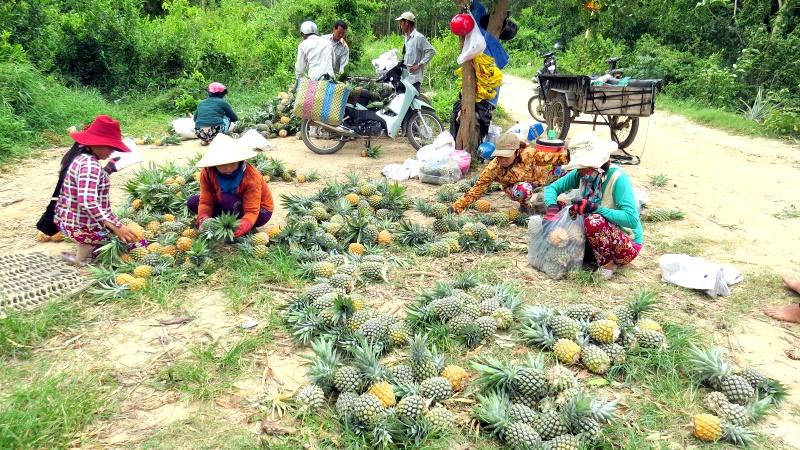 Phú Yên: Vươn lên làm giàu nhờ cây dứa