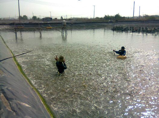 Bà Rịa-Vũng Tàu: Thiếu nước mặn ở vùng nuôi tôm Phước Thuận