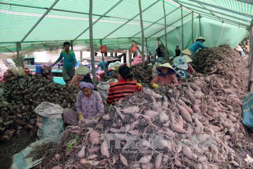 Kiên Giang: Khoai lang giảm giá, nông dân Hòn Đất thua lỗ nặng