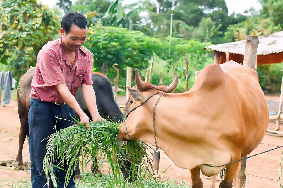 Kon Tum nâng cao chất lượng đàn bò địa phương
