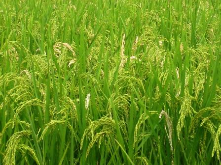 Đến trung tuần tháng 9, cả nước gieo cấy được hơn 1.561 ha lúa mùa
