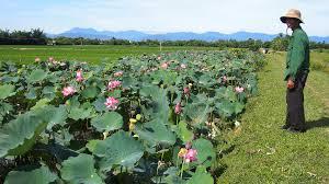 Tiền Giang: Trồng lúa kết hợp với sen giúp nông dân nghèo nâng cao thu nhập